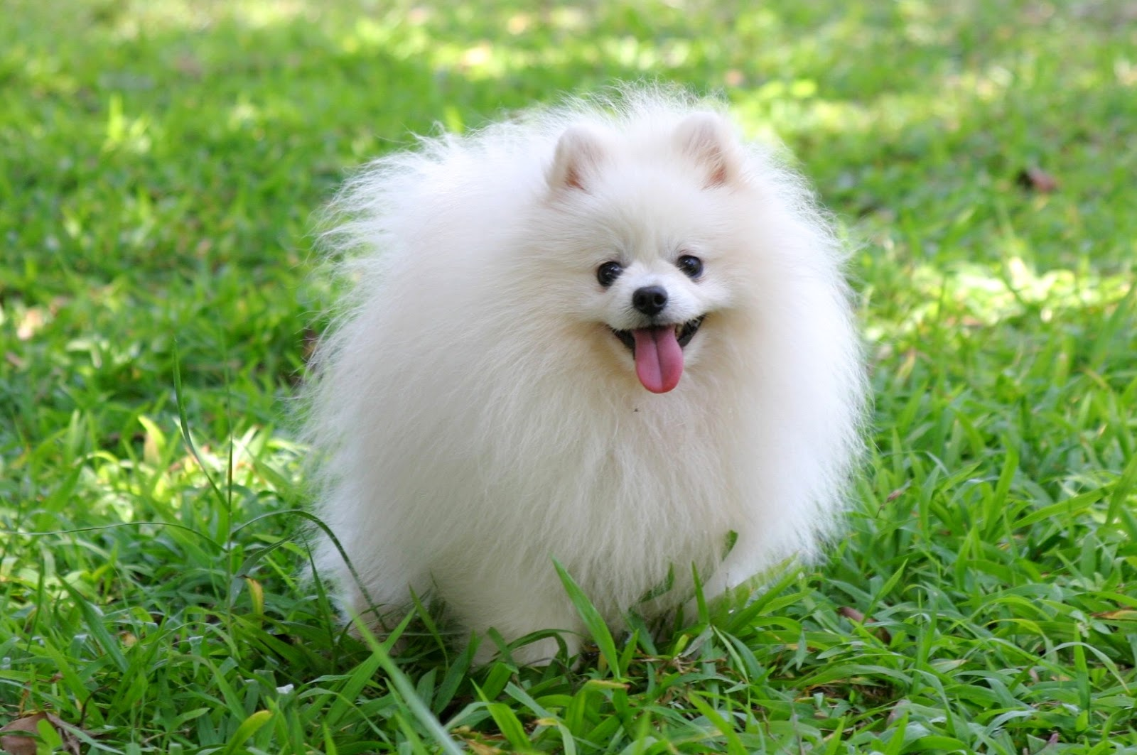 photos of pomeranian cute puppy dogs cute pomeranian puppies 5077