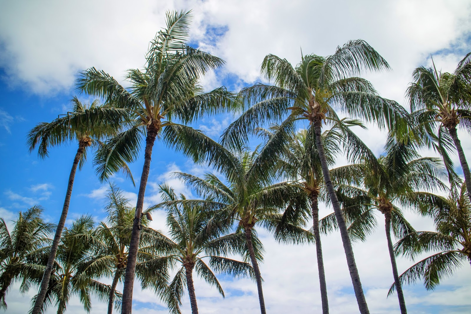 Palm trees on Oahu, hawaii