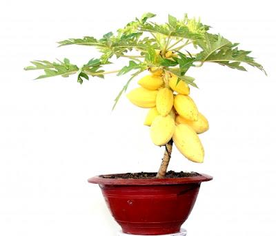 Trồng cây bonsai ăn quả để mang lại tài lộc
