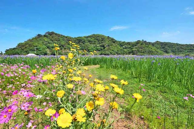 flowers, cosmos, daises, iris, hills, field, Okinawa