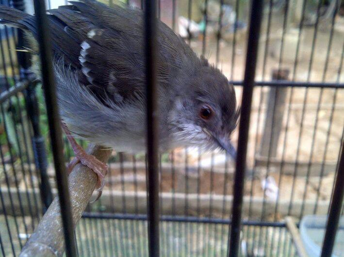 Trick Menjadikan Burung Ciblek Cepat Gacor Dan Ngebren Dunia Hobi Burung