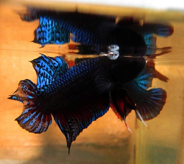 Gambar Ikan Cupang Medan