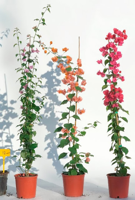 Pot grown Bougainvillea with different colour blooms