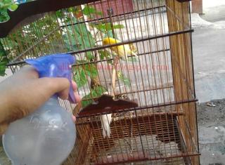 Cara Mudah Memandikan Burung Kenari