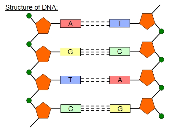 Colten U0026 39 S Blog  Dna Structure