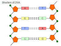 Dna Molecule Diagram