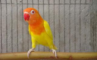 Cara-Ternak-Lovebird-Lutino