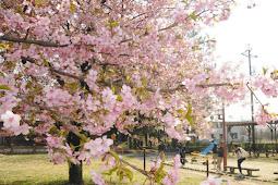 早咲き河津桜が見ごろ 萬葉公園
