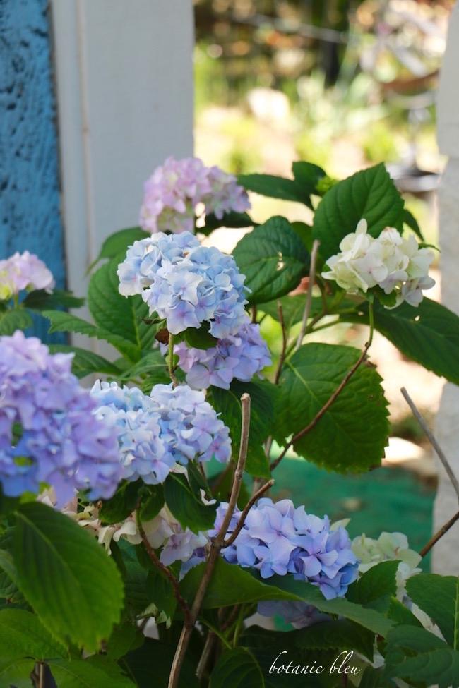 Botanic Bleu Tips To Get Hydrangeas To Bloom