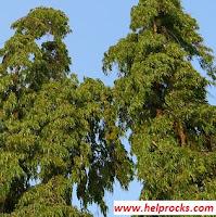 Polyalthia tree