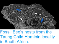 http://sciencythoughts.blogspot.co.uk/2016/10/fossil-bees-nests-from-taung-child.html