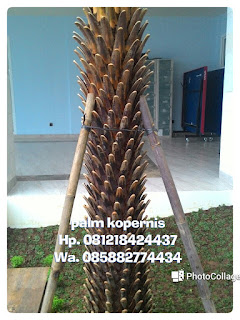 Tukang Taman penjual pohon palm kopernis alba Batang hitam dengan harga paling murah,  serta jasa tukang tanam pohon palm copernecia alba yang berpengalaman dan bergaransi