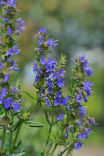 Herb of the Day: Hyssop - Golden Triangle Circle (Beaumont, TX) | Meetup