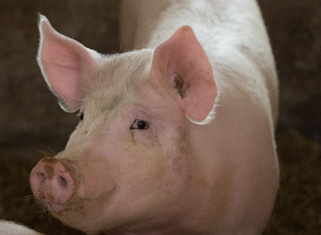 Hog inventories climb in Illinois, Metamora Herald