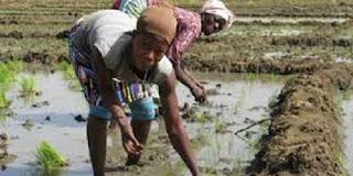 Guinée : Dubreka, Les paysans de Tanènè Bouramayah confrontés à des inondations dans les plaines propices à l'agriculture  1