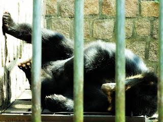 Urso-de-óculos espreguiçando-se no Parque Zoológico de Sapucaia