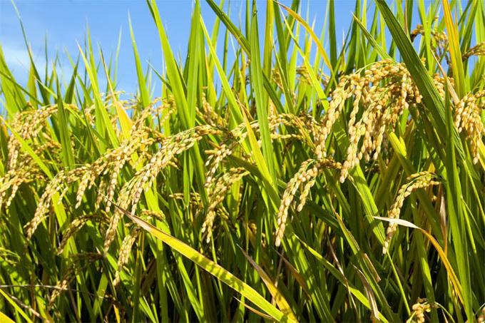 Pantun melibatkan padi