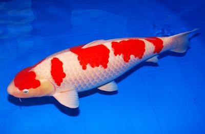 Cara Budidaya Ikan Koi di kolam terpal,