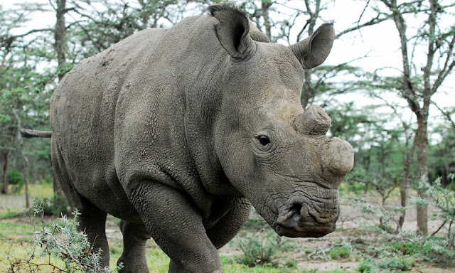 A breakthrough to rescue the Northern White Rhino