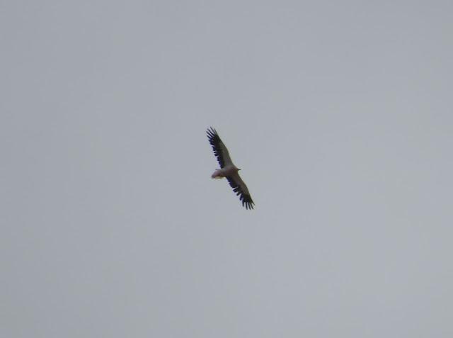 Egyptian Vulture - Barranco de la Torre, Fuerteventura
