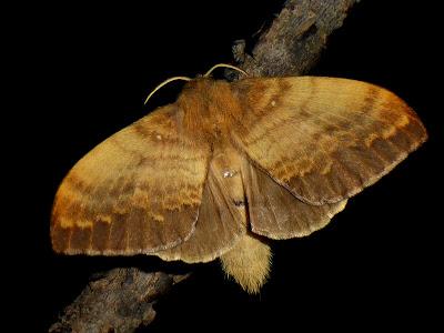 Kunugia undans female