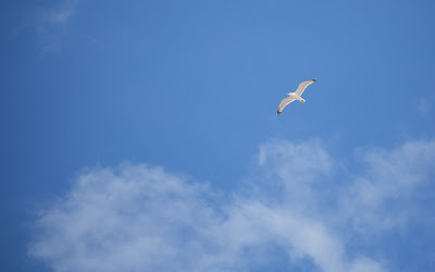 flying seagull widescreen hd wallpaper
