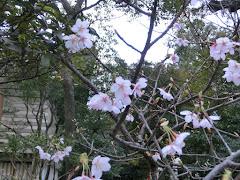 鶴岡八幡宮の玉縄桜