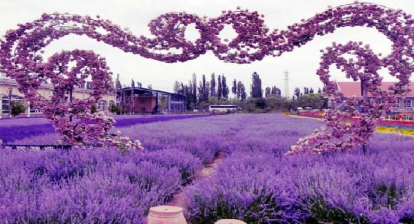 Bunga Lavender Bisa Di Makan