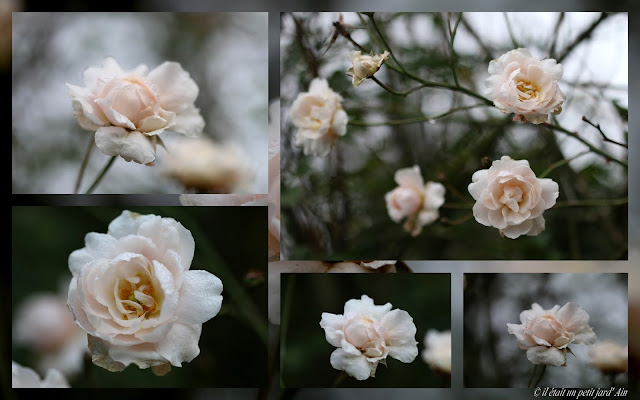 rosier blanc crème rosé remontant
