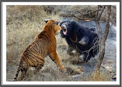 Singa Vs Harimau