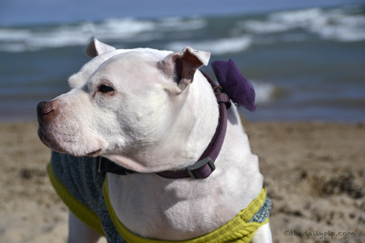 adopting a senior Pit bull with special needs