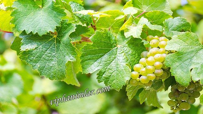 Üzüm Yaprağının Sağlık İçin Faydaları Nelerdir - www.viphanimlar.com
