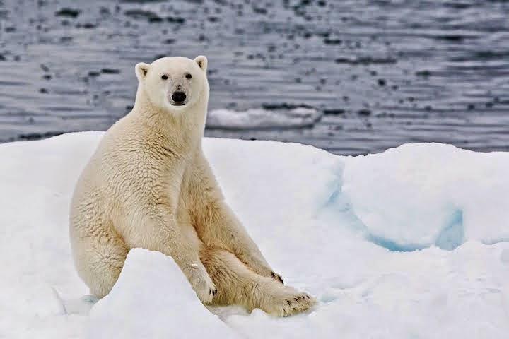 Ini yang Menyebabkan Beruang Kutub Tidak Memangsa Penguin