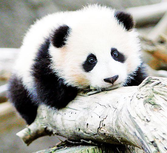 happilyfull: i love panda bears