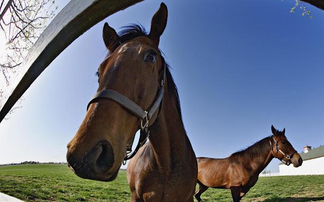 Een nieuwsgierig bruin paard in het weiland