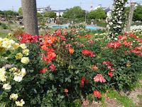 【大阪府茨木市】若園公園バラ園