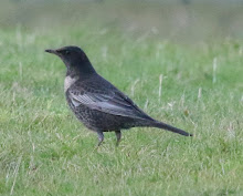 Fly Flatts Ring Ouzel