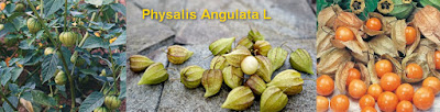 Diabetes use Physallis angulata