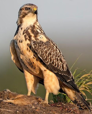 Hawk - Animals That Start With H