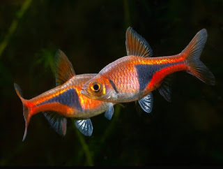 Ikan Aquascape Terindah Herlequin Rasbora