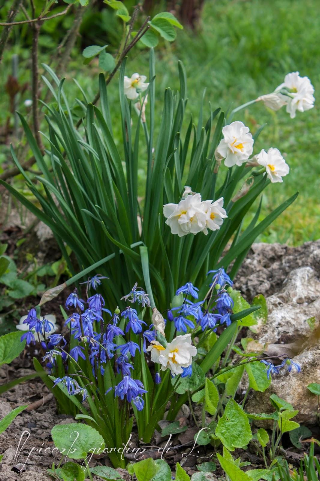 Il piccolo giardino di l altri classici bulbi a for Bulbi narcisi