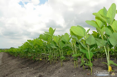 How to plant the actual soybeans?