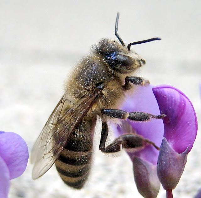 ABEJA SOBRE VIOLETA - BEE ON VIOLET
