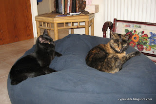 The cats Cleo and Sophia amicably sharing a blue beanbag