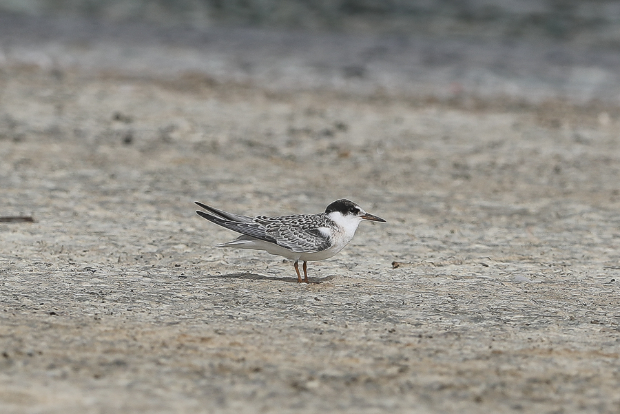 Little Tern - juvenile