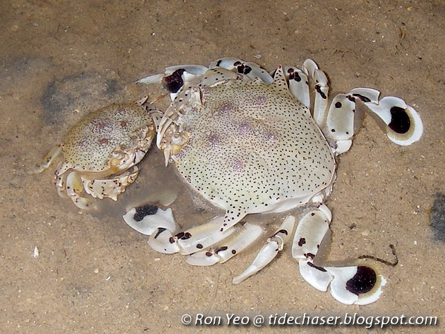 3b58aa809 tHE tiDE cHAsER: Moon Crabs (Phylum Arthropoda: Family Matutidae) of ...