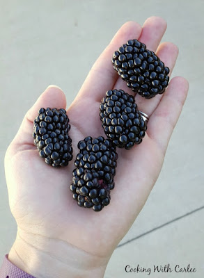 hand holding 3 giant blackberries
