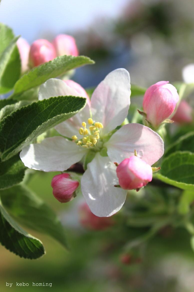 Ich nehme euch mit zur Südtiroler Apfelblüte hier im Meraner Land, Fotos von kebo homing, Südtiroler Food- und Lifestyleblog