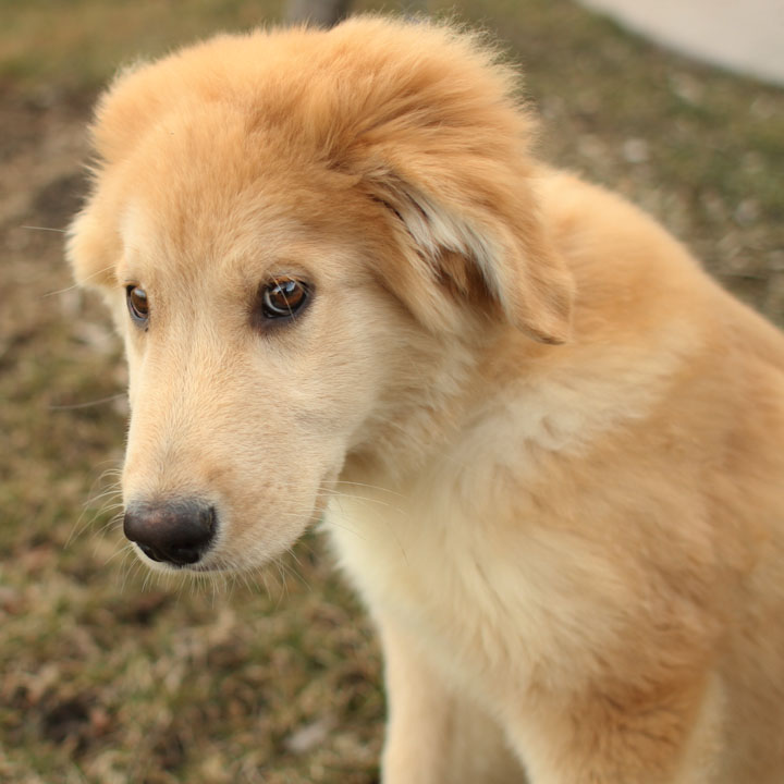 Pets: Golden Retriever Husky Mix~Dogs And Puppies