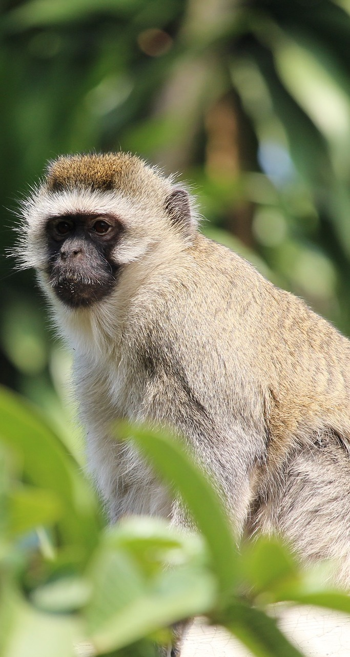 Picture of a vervet monkey.
